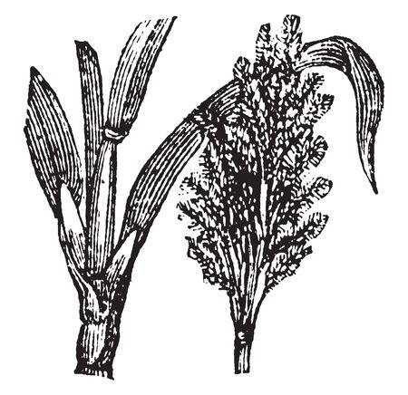 The leaves of this crop are long and thorny and its Trunk is very thick and strong, vintage line drawing or engraving illustration.