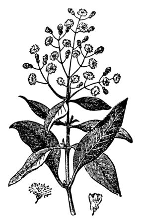 In this image a tree with white blossoms that are very aromatic. As an herb, it is used for culinary, vintage line drawing or engraving illustration.