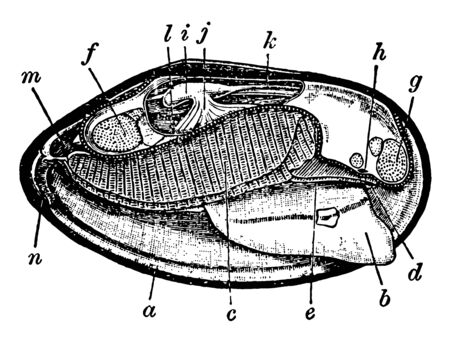 Mussel Anatomy foot with position of ganglion indicated, vintage line drawing or engraving illustration.