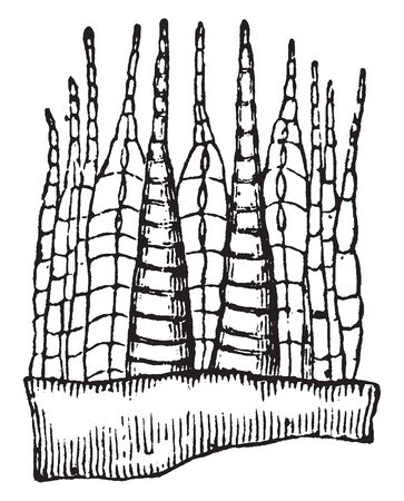 A picture of Mnium Cuspidatum which is showing a some of the outer and some of the inner consisting of jointed teeth, vintage line drawing or engraving illustration.