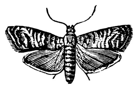 Codling Moth that eats apples and fruits, vintage line drawing or engraving illustration.