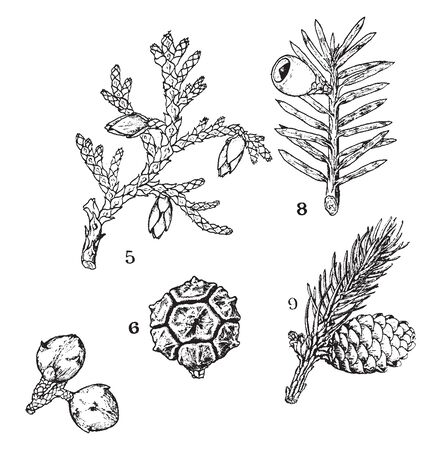 A picture showing some common examples of Pinales. The picture shows Thuja, Strobilus, branch of Taxus, Picea, etc, vintage line drawing or engraving illustration.