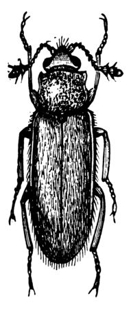Cryptophagus is a small beetle, vintage line drawing or engraving illustration. Foto de archivo - 132978567