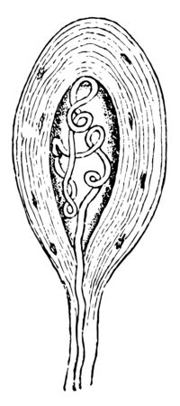 A termination of a medullated nerve fiber in tendon, vintage line drawing or engraving illustration. Ilustracja