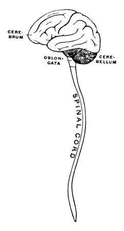 Semidiagrammatic view of the cerebrospinal axis, vintage line drawing or engraving illustration.