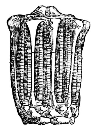Eucalyptocrinus are paleozonic crinoid. Found in Devonian limestone in Eifel. Illustration shows interior view of crinoid, vintage line drawing or engraving illustration. Ilustrace