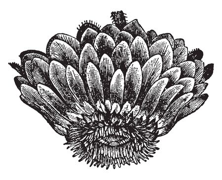 This picture is showing a victoria regia flower. This is a water plant. The flower leaves are dense and oval shaped, vintage line drawing or engraving illustration.