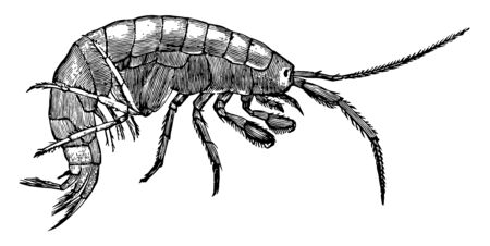 Freshwater Shrimp is an amphipod in the Gammaridae family of scuds, vintage line drawing or engraving illustration.