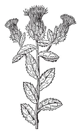 A picture showing the branch of Safflower which is a tall branched flower consists of long spiny leaves. Usually bright yellow, orange or red color, vintage line drawing or engraving illustration.