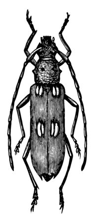 Ivory Marked Beetle is an insect in the Cerambycidae family of longhorn beetles, vintage line drawing or engraving illustration.