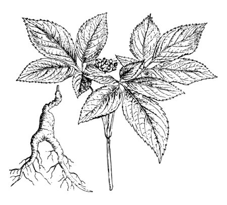 A branch and root of the Ginseng tree, vintage line drawing or engraving illustration.