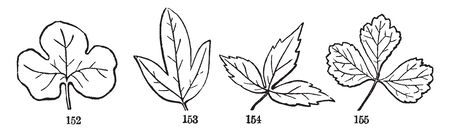 This is an image of palmately leaves. In this image from left to right: Three Lobed, Three Cleft, Three Parted and Three Divided, vintage line drawing or engraving illustration.