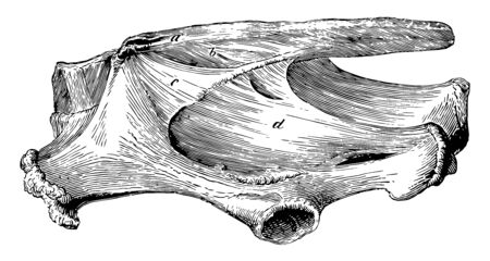 Sacral and Pelvic Ligaments which are connected by strong ligaments, vintage line drawing or engraving illustration.