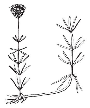 This picture is representing Selerolepis with stem leaf & bud, vintage line drawing or engraving illustration.