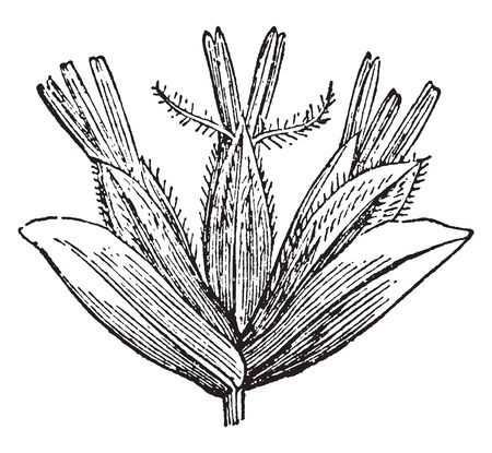 This is a picture of Phalarideae plant commonly known as Hierochloe and sweetgrass. It is found in Eurasia and North America, vintage line drawing or engraving illustration.