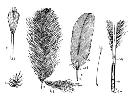 Feather Types where developing feather in sheath, vintage line drawing or engraving illustration.