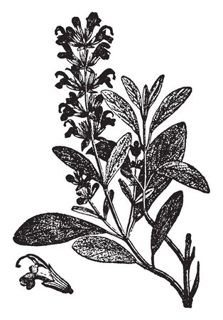 A picture showing the branch and flower of Sage plant. It is a plant used for flavoring meats, etc. It has blue flowers and has been found with many varieties, vintage line drawing or engraving illustration. Illustration
