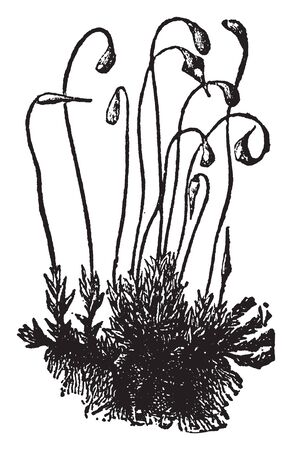 A Moss does not have seeds like many other plants do. They spread by spore, vintage line drawing or engraving illustration.
