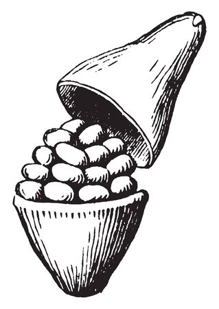 A picture of pyxis which is a pod that opens transversely, the top part separates like a lid, vintage line drawing or engraving illustration. Ilustração