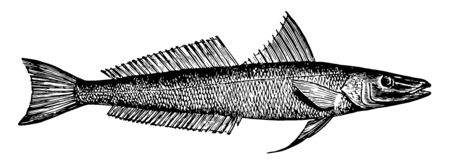 Northern Whiting is a fish in the Sillaginidae family of smelt whitings, vintage line drawing or engraving illustration.