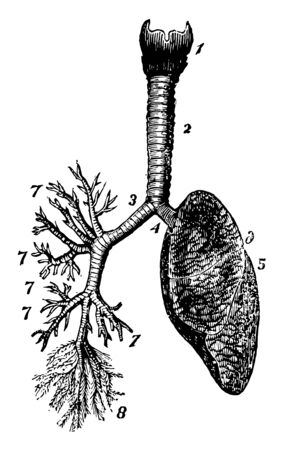This illustration represents Respiratory System, vintage line drawing or engraving illustration.