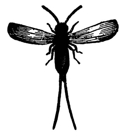 Male Cochineal Insect is a dye stuff employed in dyeing scarlet and crimson, vintage line drawing or engraving illustration.