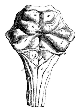 Dorsal or posterior surface of the pons Varolii corpus quadrigemina and medulla oblongata, vintage line drawing or engraving illustration.