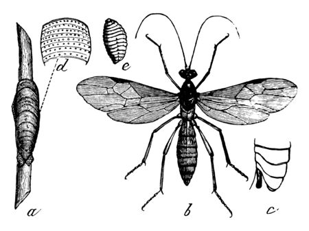 Aleiodes is a genus of parasitic Hymenoptera, vintage line drawing or engraving illustration.