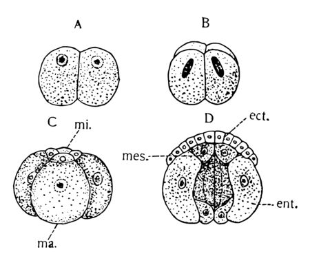 Gastropod Segmentation is a highly diverse group of mollusks that include between 60000 and 80000 living species, vintage line drawing or engraving illustration. Иллюстрация