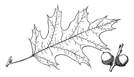 Black Oak Leaflong with bristle tipped lobes which are separated by deep U-shaped notches. One can see two fruits in picture as well, vintage line drawing or engraving illustration.