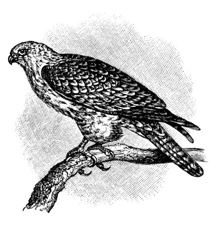 Gyrfalcon is a bird of prey the largest of the falcon species, vintage line drawing or engraving illustration.