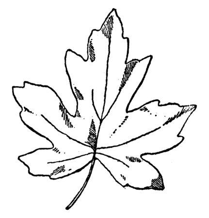 Leaf of Oriental Amber Tree is a deciduous tree in the genus Liquidambar, vintage line drawing or engraving illustration.