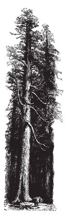 This picture is showing Redwood tree which are located in California, vintage line drawing or engraving illustration. Illustration