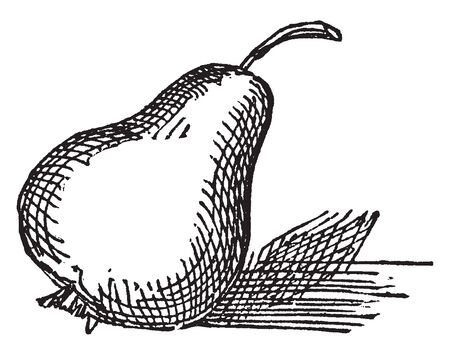 A picture of pear fruit which are one of the most versatile fruits with delicious taste. They are packed with immense health benefits, vintage line drawing or engraving illustration.