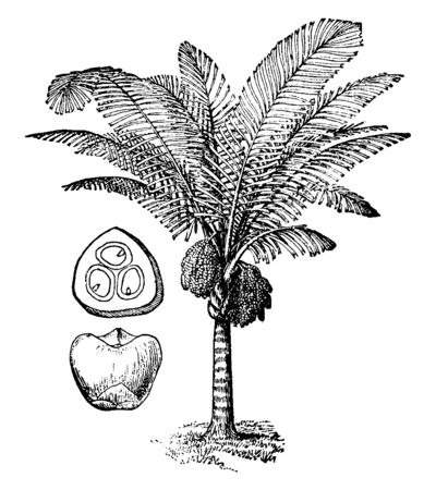 An illustration of Arenga palm with fruits. It yields a black bristly fiber resembling horse hair and is known as Gonuto or Gonuti fiber. It makes excellent cordage, vintage line drawing or engraving   イラスト・ベクター素材