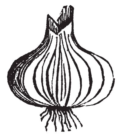 This is picture showing full grow onion. It is type of vegetable. It grows underground. It is rounded shape. Leaves are grow upper side, it thin and long. It use in food, vintage line drawing or engraving illustration.