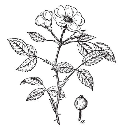 A picture, that's showing a Prairie rose. The plant is thorny. The flower is small and pink, heart shaped petals, vintage line drawing or engraving illustration.