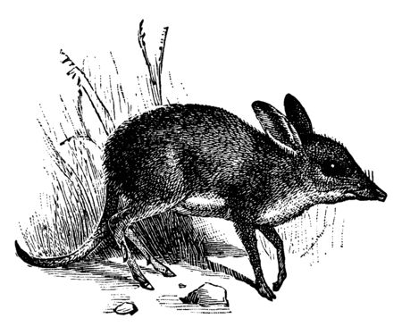 Bandicoot are a group of about 20 species of small to medium sized terrestrial marsupial omnivore in the order Peramelemorphia, vintage line drawing or engraving illustration.