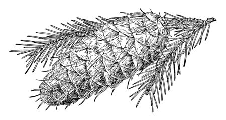 A photo of pine cone lying upside down, vintage line drawing or engraving illustration.