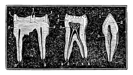 The molar teeth of a human horse and dog and the first image to the left in a molar tooth of a horse, vintage line drawing or engraving illustration.