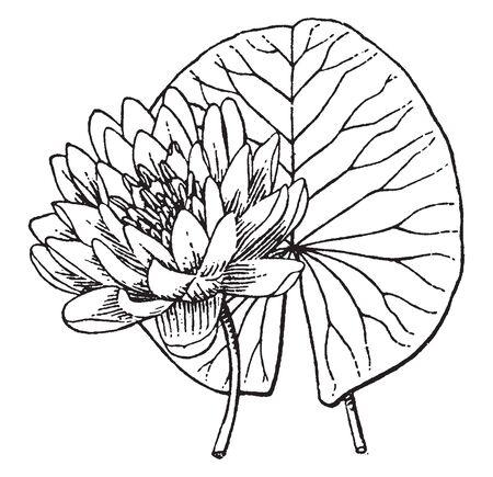 Vista de una hermosa planta acuática con flores de color azul cielo, es el lirio de agua autóctono más comúnmente cultivado en Sudáfrica, dibujo de línea vintage o ilustración de grabado.