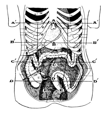 Showing the average position of the abdominal viscera with their surface markings, vintage line drawing or engraving illustration