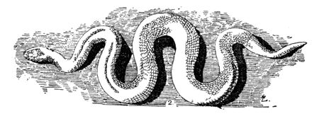 Serpent Cast is a word of Latin origin meaning something that creeps, vintage line drawing or engraving illustration. 向量圖像