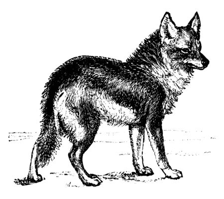 Coyote is a canid native to North America, vintage line drawing or engraving illustration.