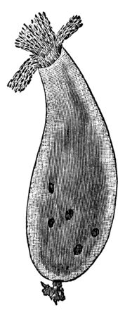 The typical genus of the family Encheliyidae with simply ciliate terminal mouth, vintage line drawing or engraving illustration. Illustration