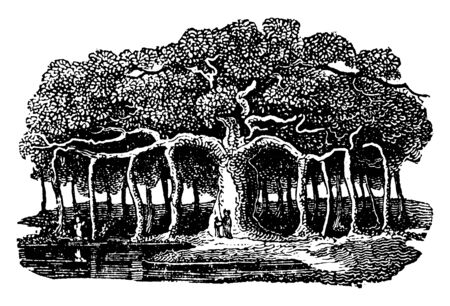 This is the banyan is actually a variety of a fig plant that germinates in the branches of trees. It sends down aerial rootlets that germinate upon hitting the ground, vintage line drawing or engraving illustration. Banque d'images - 132978147