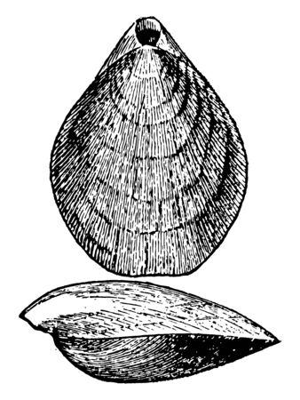 Terebratulina Septentrionalis of the northern Atlantic coast, vintage line drawing or engraving illustration.