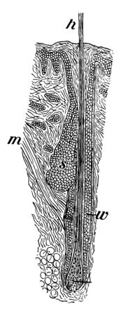 This illustration represents Section of Scalp, vintage line drawing or engraving illustration. Illustration