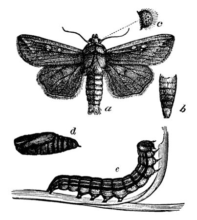 Army Worm which is a moth of the family Noctuidae, vintage line drawing or engraving illustration. Illustration