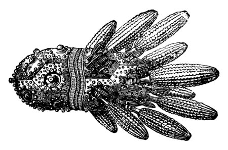 Cidaris coronata also known as turban echinus found in France & England. It has a flat base often concave, in which mouth is situated. Illstration shows spines attached to tubercles on right hand, vintage line drawing or engraving illustration.